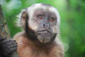 tufted-capuchin