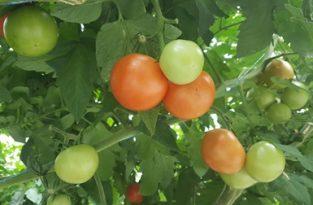 pomidoriai