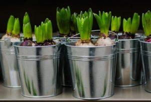 svogunines-geles-pavasari