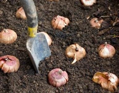 Pavasaris įsibėgėjo – metas sodinti svogūnines gėles