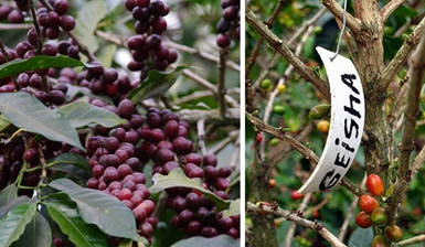 Kiek kainuoja geidžiamiausia kava pasaulyje?
