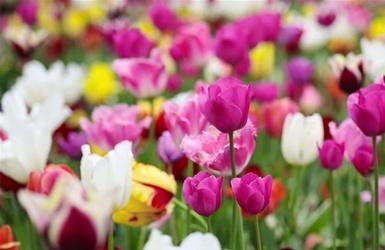 Tulpių įvairovė gali susukti galvą