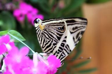 """Akmenės muziejuje išsirito """"drugelis-zebras"""""""