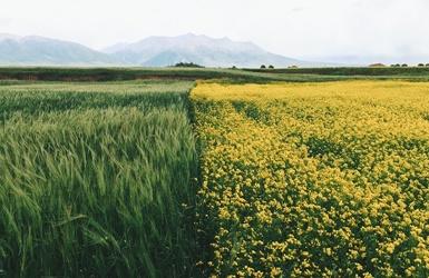 Žalioji trąša – dirvos maitinimas po derliaus nuėmimo