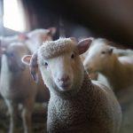 Dėl erkinio encefalito trys asmenys paguldyti į ligoninę – įtariama užsikrėtė per ožkų pieną