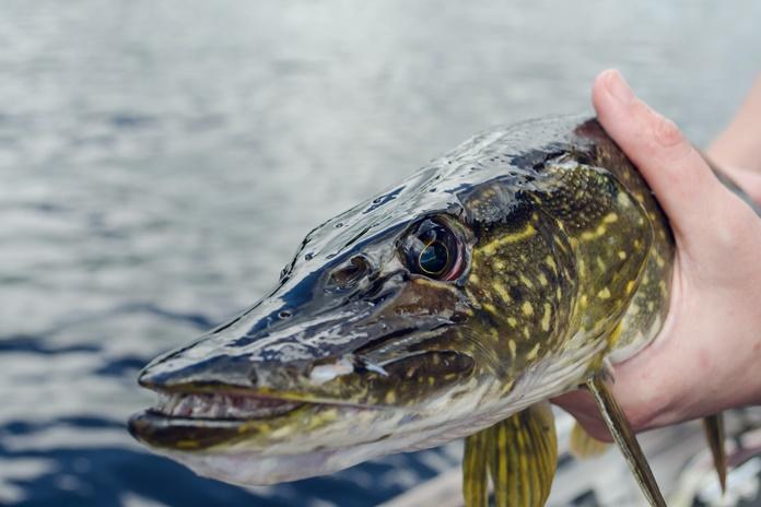 Draudimas žvejoti lydekas šiemet įsigalioja vasario 3-ąją